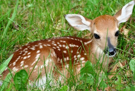 A baby fawn.