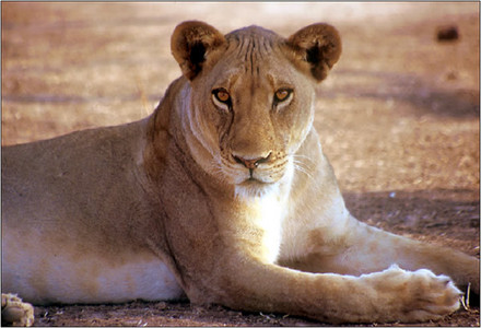 lion,specially the lionne