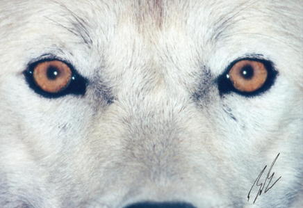 loups - the most beautiful animaux on Earth, IMO.
