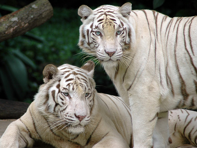 white tiger and wolves(i could only put one soooooo)