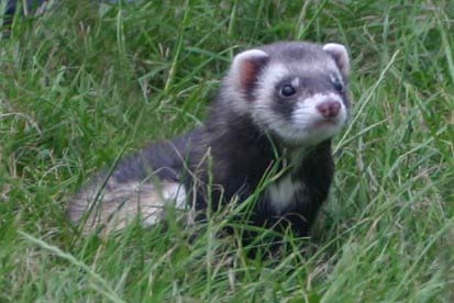 Here's a baby ferret.