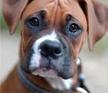 Here ya go, a boxeur, boxer puppy! :)