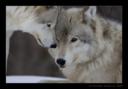 Because I amor wolves.