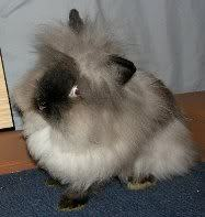 Another picha of a lionhead rabbit ! ANOTHER one of God's wanyama that I haven't seen before ! !