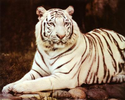 tigers!!!! i like white tigers i asked ma mom 4 a white tiger 4 ma b-day lol