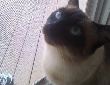 My cat. Max. He's a Siamese.