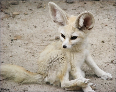 A Fennec लोमड़ी, फॉक्स I just faved on DeviantArt. Yeah, i'm perverted. -_-
