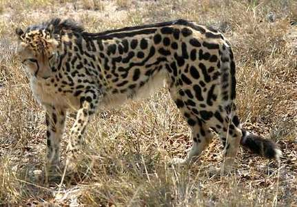 The King Cheetah. Reason is because they are an elegant, noble looking animal. They can go from 0 to 103 km/h in three secondes (faster than a sports car) and they are cool looking. The King Cheetah is a colour mutation of the regular Cheetah