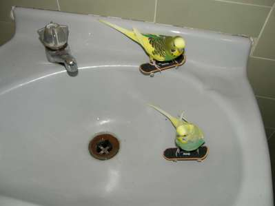 Okay I admit it, I was teaching your parakeets to skateboard in your sink.