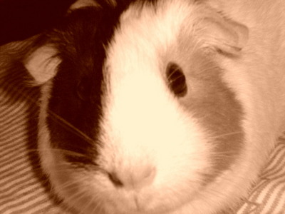 I have a guinea pig :D Her name is Lucy! But what about কোকো অথবা Bobby? Isn't she cute?