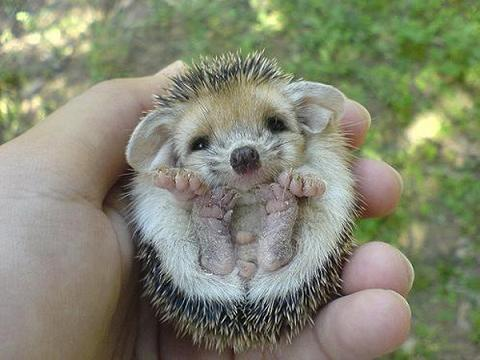 Hedgehog Babies are adorable ♥
