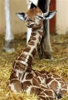 i say girrafes!!! so adorable love them! :)