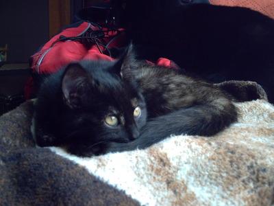 I have an all-black cat named Nova A german-shepard/boarder loại chó chăn chiên, collie, chó collie mix named Myra And a kitten named Eva This is mah Eva~! X3