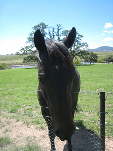 This is one of my ngựa Tom he is a Quarter horse in Canada he is 15.1hh and is a 7yo. Isn't he GORGEOUS!!!!1