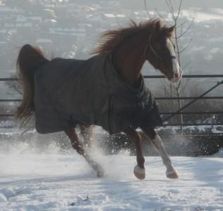 My horse Roddy, he is a purebred English Arabian