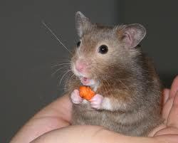The world's cutest hamster!