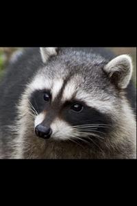 mine i 愛 racooons