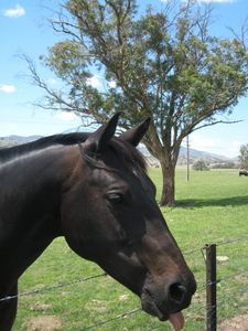 about a 8.5 または 9. This is one of my prettiest 馬 in the world. This is my horse Tom he is an Australian Stock horse 15.1hh 7yo and imported from Australia. P.S. I live in Kentucky