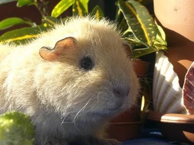 Yah, a guinea pig called teddy :3