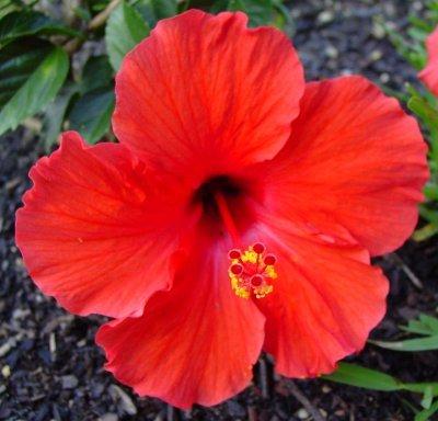 hibiscus... =)