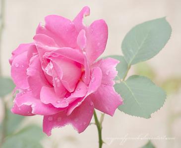 kulay-rosas mga rosas are my paborito ♥