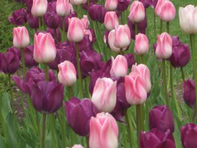 Tulips. They come in so many different mga kulay :3