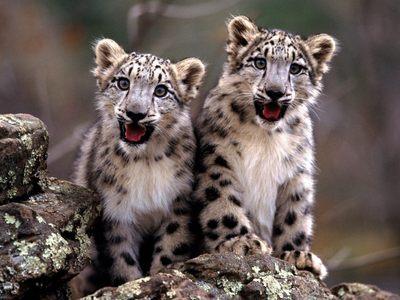 A Snow Leopard!