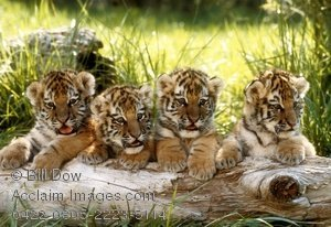Siberian tiger cubs... isn't they adorable....
