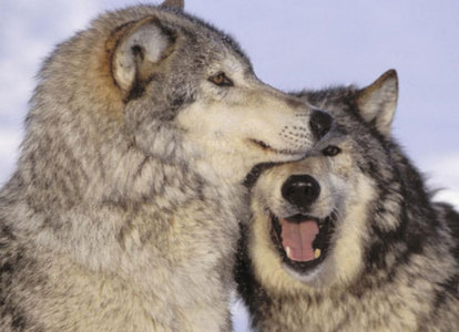 I don't know why. All I know is that I'm against people hurting wolves. But what do te think about this picture?