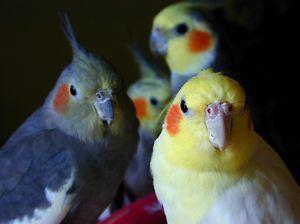my cockatiels!:D