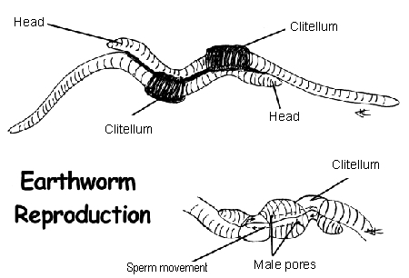 How do snakes have sex photo 23