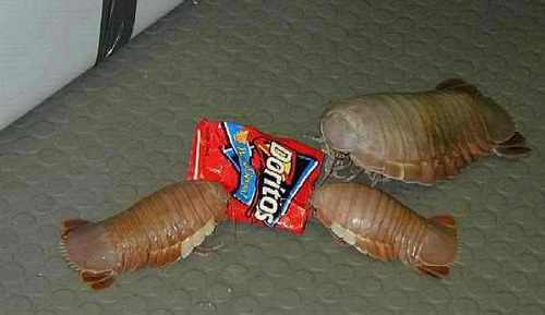 This is a giant pill bug :D