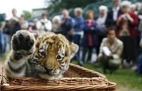 Be in a cage with a Tiger =^-_-^= I Amore tigri ;P Isn't he adorable V