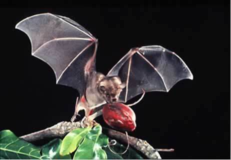 In my opinion, フルーツ bats are adorable.