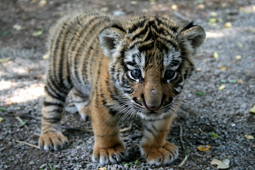 baby tigers!!!!!