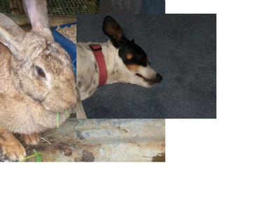 this is my rabbit and my cusions dog.