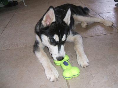 HUSKY!!!!! XD look at my husky