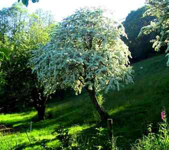 The hawthorn tree. It usually grows por itself, away from other hawthorns; and its beautiful but strong too. <3
