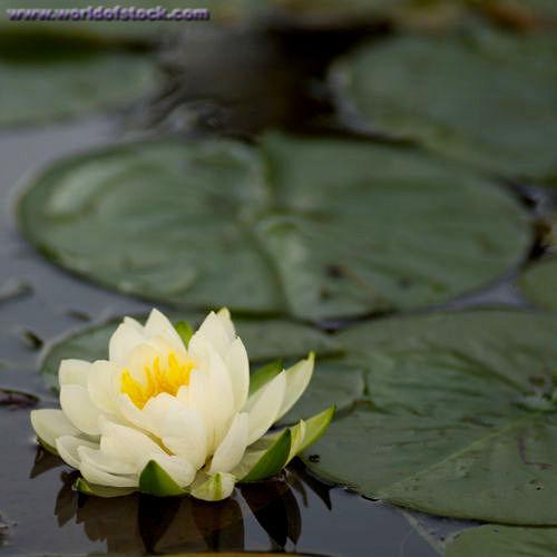 lotus, bleeding hearts, or mga rosas