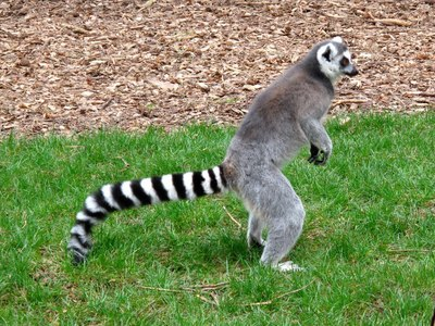 A Ring Tailed lemur.