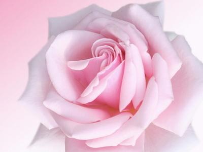 berwarna merah muda, merah muda roses. They're so beautiful! It's the only time I like pink, really.