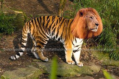 a liger..>:D...df
