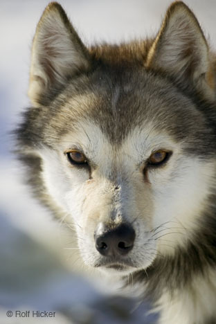 I amor perros and lobos
