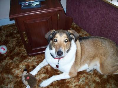 My dog Peach. Border loại chó chăn chiên, collie, chó collie mixed with Husky and German shepard.