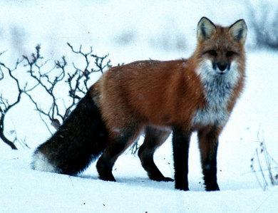 this fox..:D