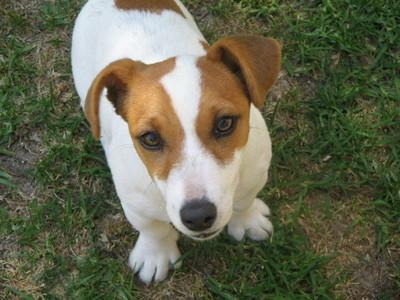 This is Moy dog ope(a.k.a: Fifi) She is a Jack Russel She's my baby