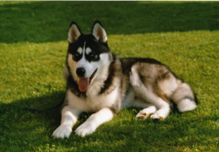 That was my dog! Unfortunately I didn't have him any longer!:(( His name is Nuca and he is an Alaskan Malamute.