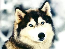 a wolf! xD