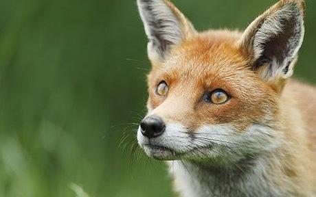definitely a fox