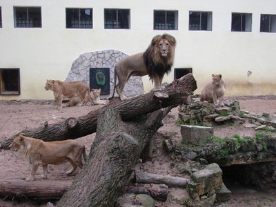 I would be a male African Lion living in an American zoo. Don't have to hunt o scavenge for food, don't have to fight other males to establish dominance, don't have to fight other males/females to takeover a Pride/territory, and don't have to fight off younger males to keep my Pride/territory. I would live decades longer than wild Lions, be able to grow out my mane fully, have my harem of Lionesses for carefree loving, occasionally offered the chance to mate with Lionesses from other zoos--to contribute to the species' survival in captivity, be fed/cleaned/medically checked up por humans, and adored por all the visitors to the zoo. Yup, that'd be the ultimate life. JD